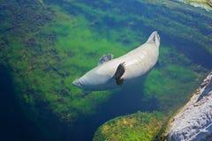 Den gemensamma skyddsremsan simmar i vattnet Royaltyfri Bild