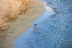 Den gemensamma snäppan för fågel som dricker havsvatten arkivbild
