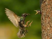 Den gemensamma staren, den vulgaris sturnusen flyger med något kryp för att mata dess fågelunge arkivfoto