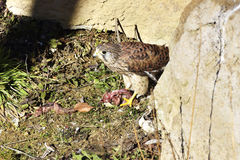 Den gemensamma tornfalken, [den Falco tinnunculusen] Arkivfoto