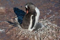 Den Gentoo pingvinet behandla som ett barn under hans moder. Antarktis Royaltyfri Bild