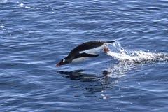 Den Gentoo pingvinet hoppade ut ur vattnet på ett soligt Arkivfoto