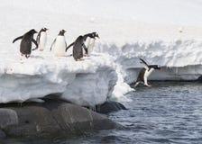 Den Gentoo pingvinet hoppar från isen Arkivbilder
