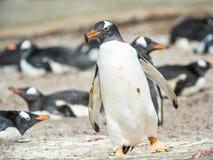 Den Gentoo pingvinet kör med något i munnen. Arkivfoto
