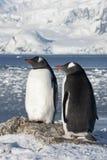 Den Gentoo pingvinet kopplar ihop på bakgrunden av glaciärerna. Royaltyfria Foton