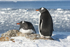 Den Gentoo pingvinet kopplar ihop på bakgrunden av hav. Arkivbilder
