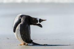 Den Gentoo pingvinet poserar. Royaltyfri Bild
