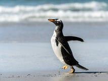 Den Gentoo pingvinet poserar. Arkivfoton
