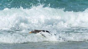 Den Gentoo pingvinet simmar i havet. Arkivbilder