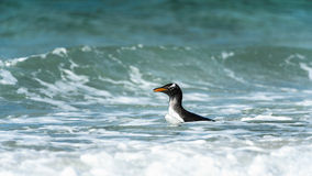 Den Gentoo pingvinet simmar i havet. Fotografering för Bildbyråer