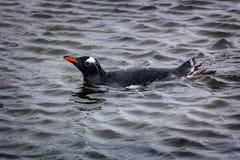 Den Gentoo pingvinet simmar i havvattnet, Antarktis royaltyfri fotografi