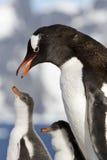 Den Gentoo pingvinet ska mata fågelungarna Royaltyfri Fotografi