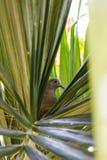 Den Geopelia striataen och redet för fågel` s på ett träd gör grön i mitt av arkivfoton