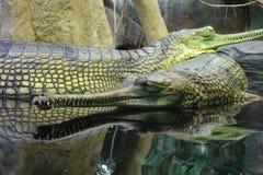 Den Gharial Gavialisgangeticusen vet också som det gavial Royaltyfri Bild