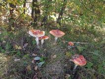 Den giftiga champinjonamanitaen växer i skogen Arkivfoto