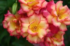 Den glödande klungan av ljusa rosa färger och gula rosor växer mot en grön vårbakgrund Arkivbild