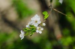 Den glade blomningen blommar på vårdag Arkivfoto