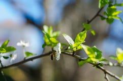 Den glade blomningen blommar på vårdag Arkivfoton