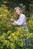 Den glade unga kvinnan bland de blomstra buskarna av en magoniya Arkivfoto