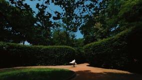 Den gladlynta brudgummen rotera rundan hans attraktiva brud i lång bröllopsklänning i den gröna blommande trädgården arkivfilmer