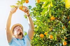 Den gladlynta unga mannen skördar apelsiner och mandariner Arkivbild