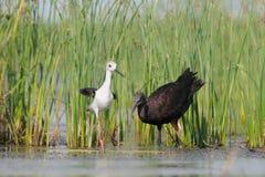 Den glansiga ibits och denpåskyndade styltan nära sjön läser Arkivbild