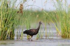 Den glansiga ibits på grunt vatten nära läser Arkivbild
