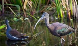Den glansiga ibits söker efter ett mellanmål Arkivfoton