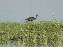 Den glansiga ibits stod i vasser av flodmarsklan Arkivfoto