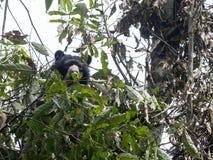 Den glasögonprydda björnen, den Tremarctos ornatusen, matas på ett träd i den dimmiga skogen för berget av Maquipucuna, Ecuador royaltyfri fotografi