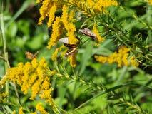 Den Goldenrod växten är en magnet för kryp Arkivfoto