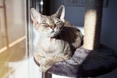 Den Gorgeus Devon Rex katten känner sig bekväm och att sitta på hennes favorit- skrapa för ställe hemma - stolpen royaltyfri bild