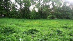 Den gräs- ängen som omges av skogen, fåglar är sjungande arkivfilmer
