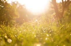 Den gräsbakgrund och kamomillen blommar på en solig dag under solnedgång Arkivfoto