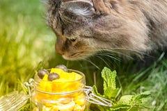 Den gråa fluffiga katten försöker att lukta frukter i en krus Utomhus- bakgrund f?r natur close upp tonat arkivbilder