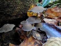 Den gråa gruppen av champinjoner bredvid vaggar i skog royaltyfria foton
