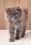Den gråa gulliga kattungen går på träbräden Royaltyfria Foton