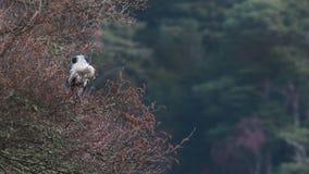 Den gråa hägret, den cinerea ardeaen, den vadande fågeln sätta sig på ett träd som ansar sig bredvid en sjö i Skottland, morayshi arkivfilmer