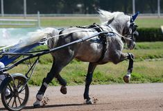 Den gråa hästtravareaveln, i att trava på kapplöpningsbana selehästkapplöpning royaltyfria bilder
