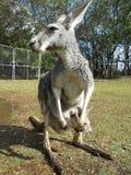 Den gråa kängurun med behandla som ett barn Arkivbild