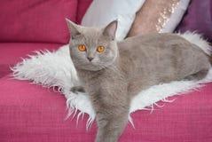 Den gråa katten Arkivfoto