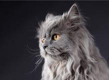 Den gråa katten Arkivfoton