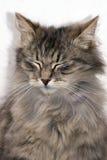 Den gråa katten Fotografering för Bildbyråer