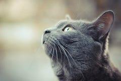 Den gråa katten av ryssblått föder upp blicken som lämnas upp Arkivbilder