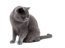 Den gråa katten föder upp skotsk raksträcka på en vit bakgrund Arkivfoto