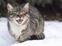 Den gråa katten fräser på snön royaltyfria bilder