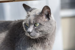Den gråa katten kyler framsidan Arkivfoto
