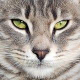 Den gråa katten med gröna ögon ser kameran Arkivbilder