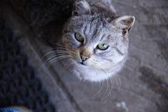 Den gråa katten med gula ögon ser upp royaltyfri fotografi