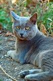 Den gråa katten ser framåt Arkivfoton